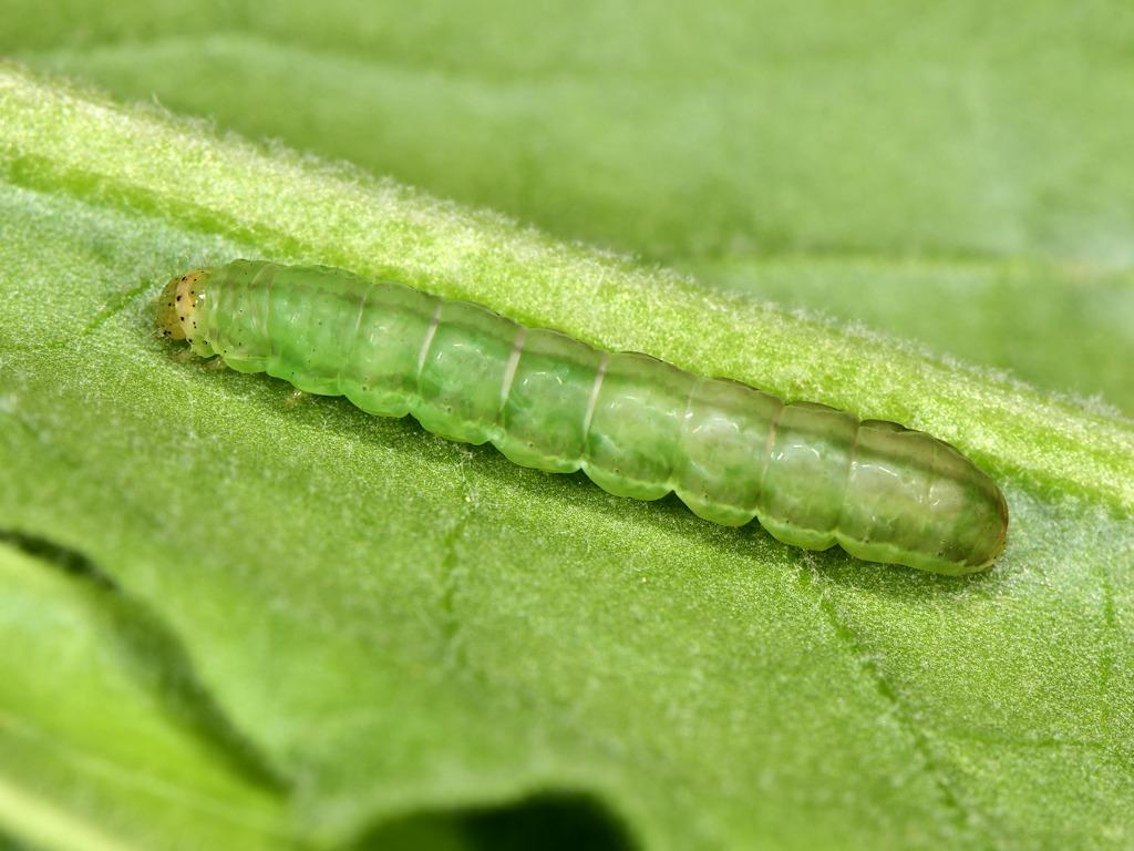larva pre-pupa di Panemeria tenebrata