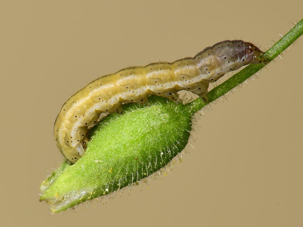 larva L3 di Panemeria tenebrata