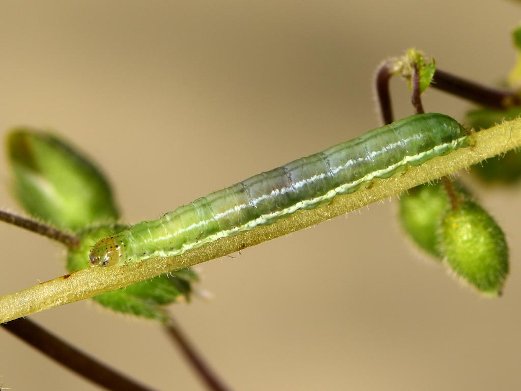 larva L4 di Panemeria tenebrata
