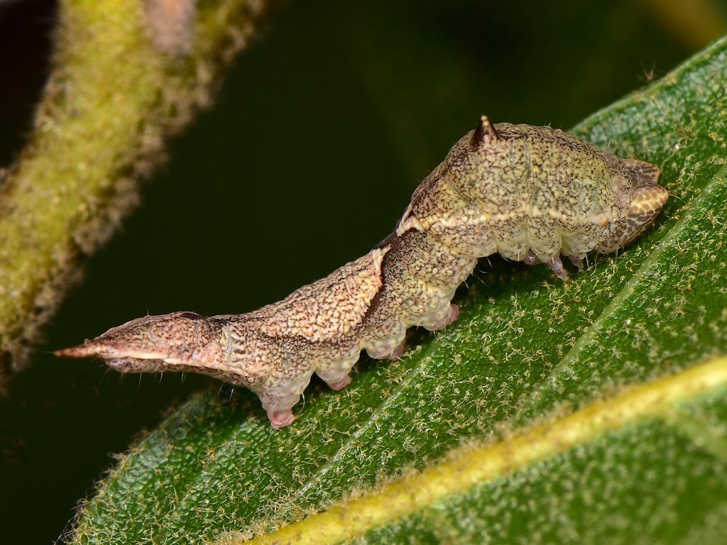 larva L4