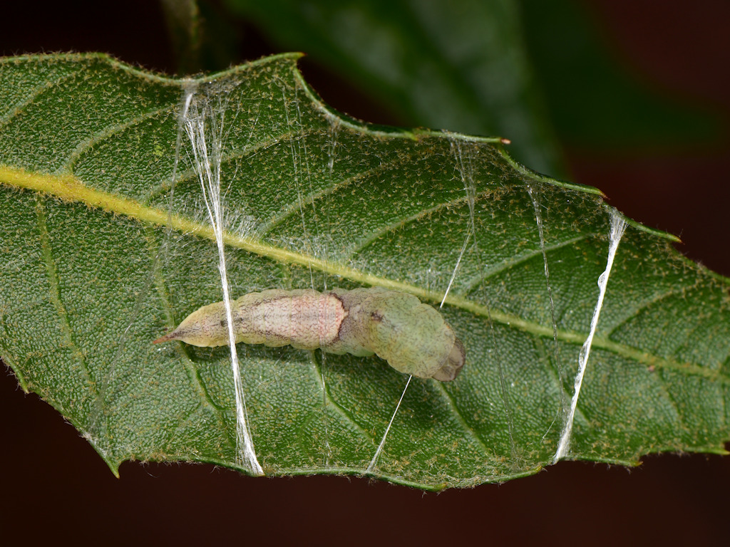 larva pre-pupa