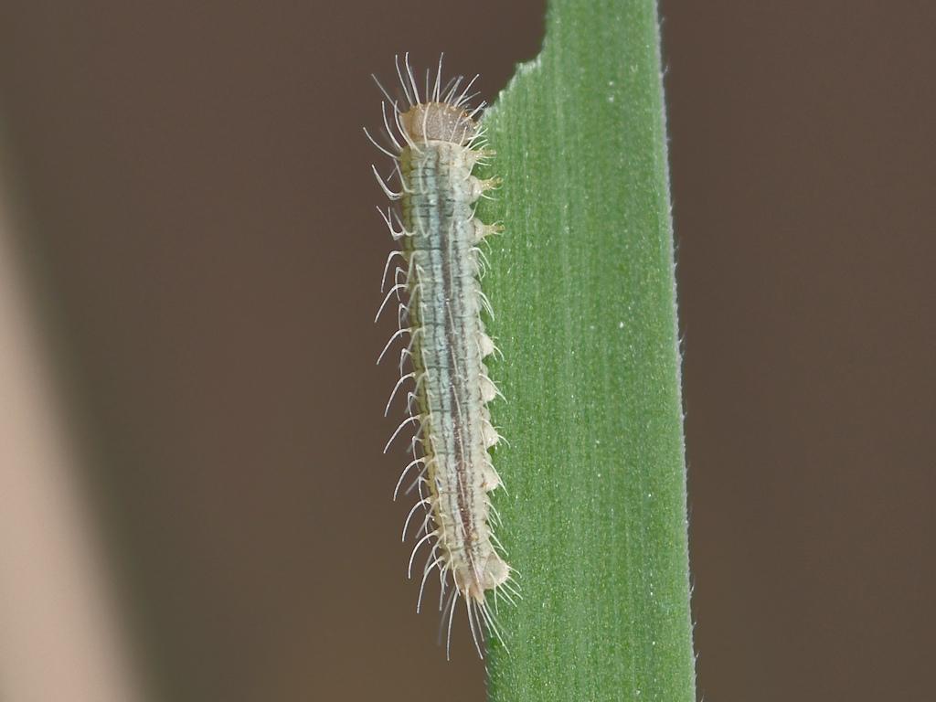 larva L1 di Melanargia arge