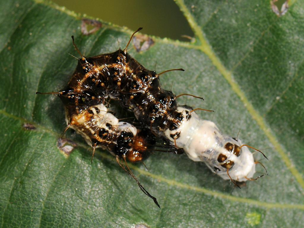 larva L2 di Acronicta alni
