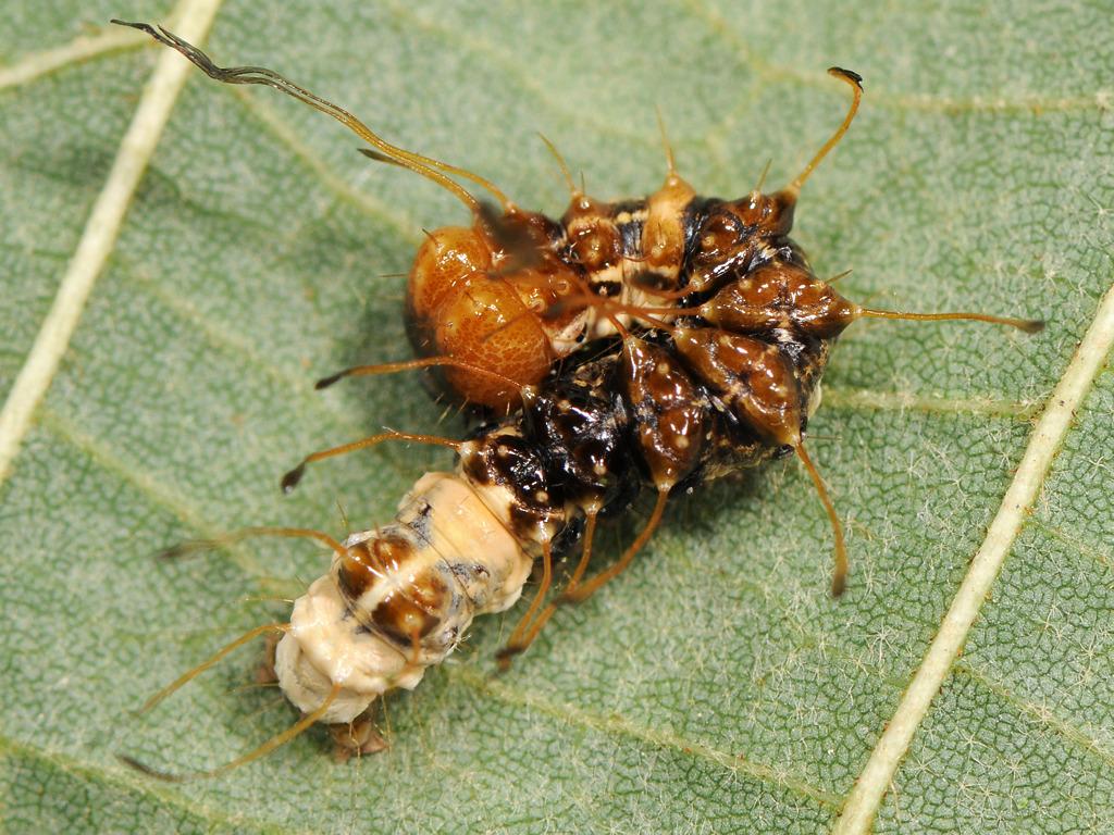 larva L3 di Acronicta alni