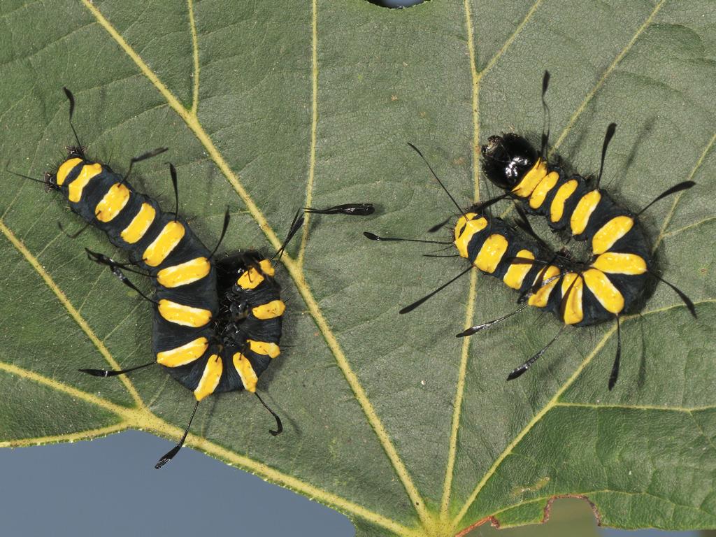 larve L4 di Acronicta alni