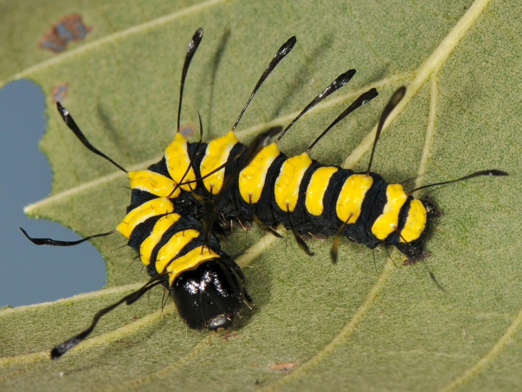 larva L4 di Acronicta alni