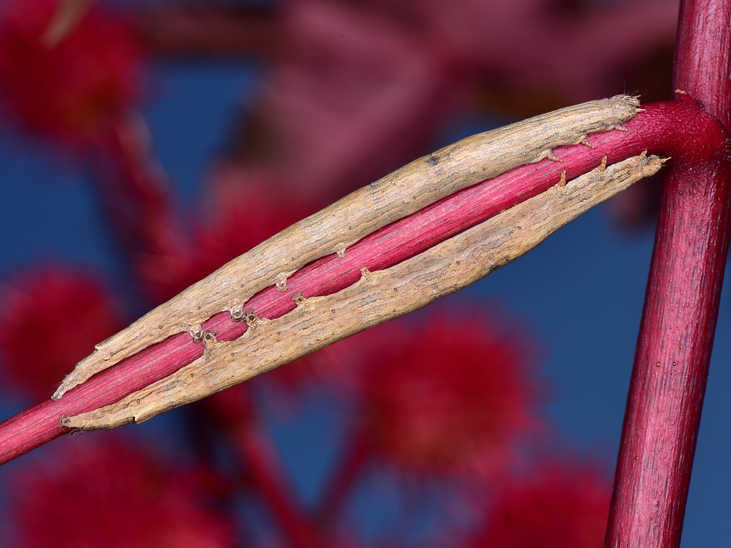 larve mature di Dysgonia torrida