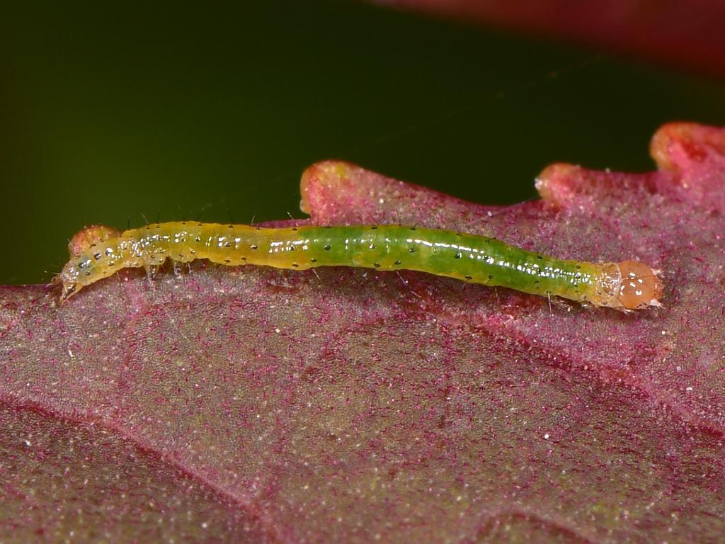 larva L1 di Dysgonia torrida