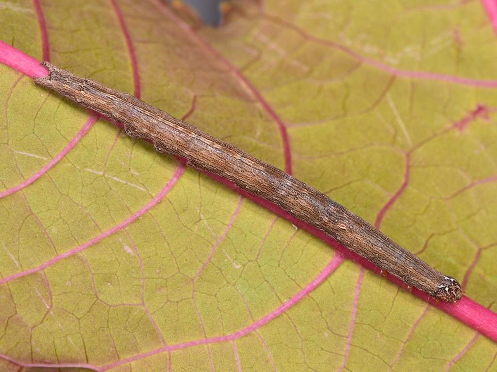 larva L3 di Dysgonia torrida