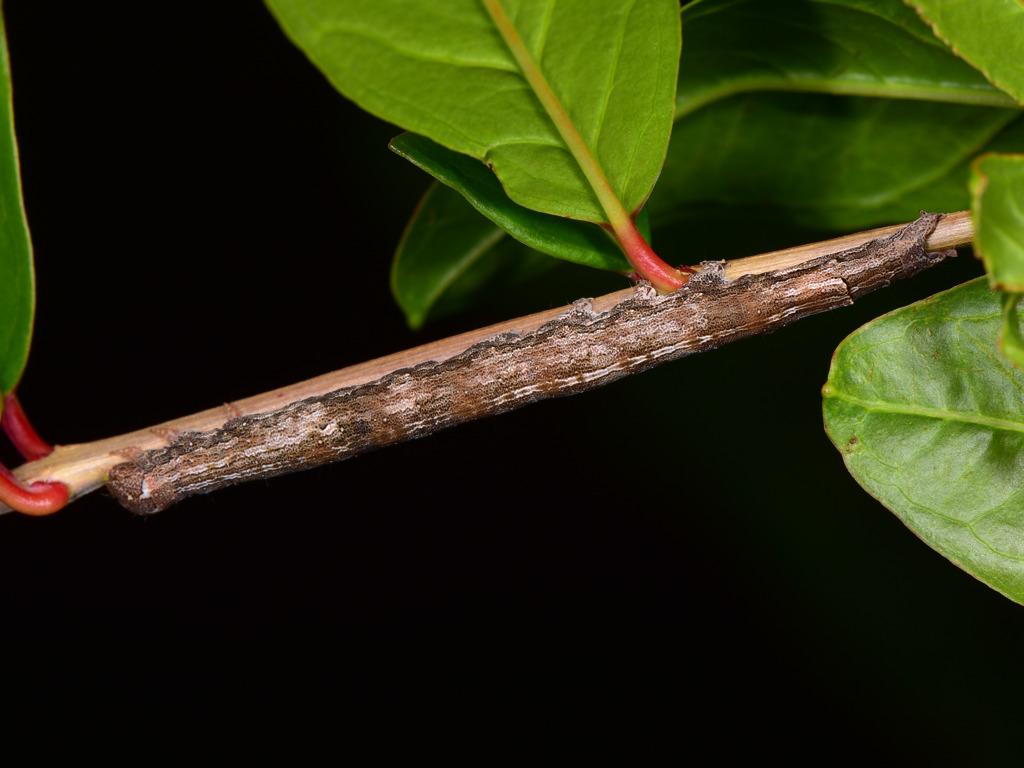 larva di Dysgonia torrida su melograno
