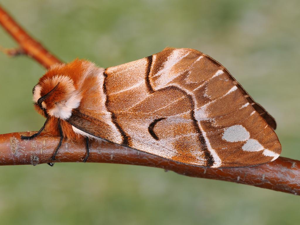 femmina adulta di Endromis versicolora