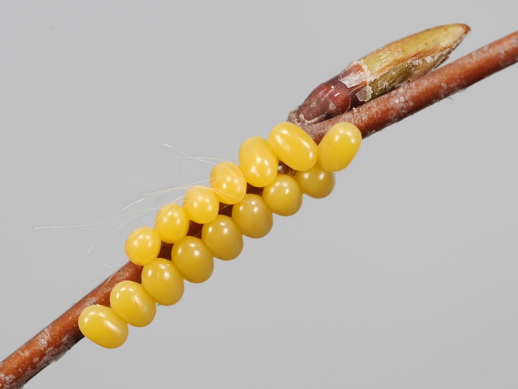 uova di Endromis versicolora