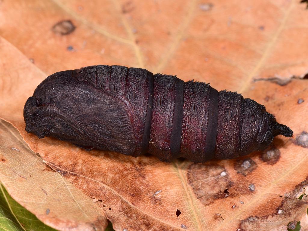 pupa di Endromis versicolora