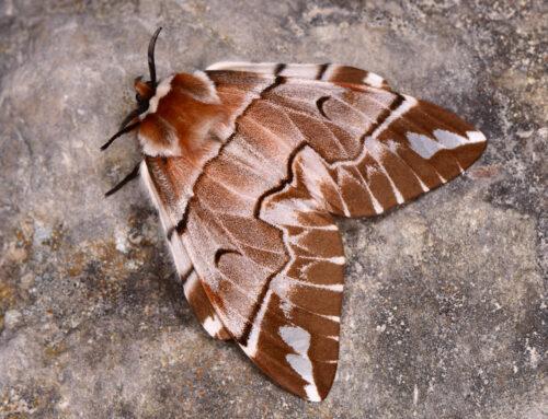 "Rubrica ""Metamorfosi"": Endromis versicolora"