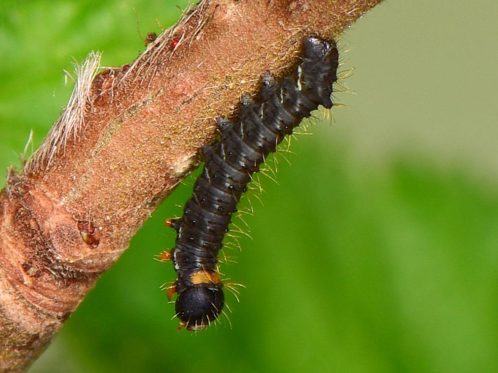 Larva L1 di Endromis versicolora