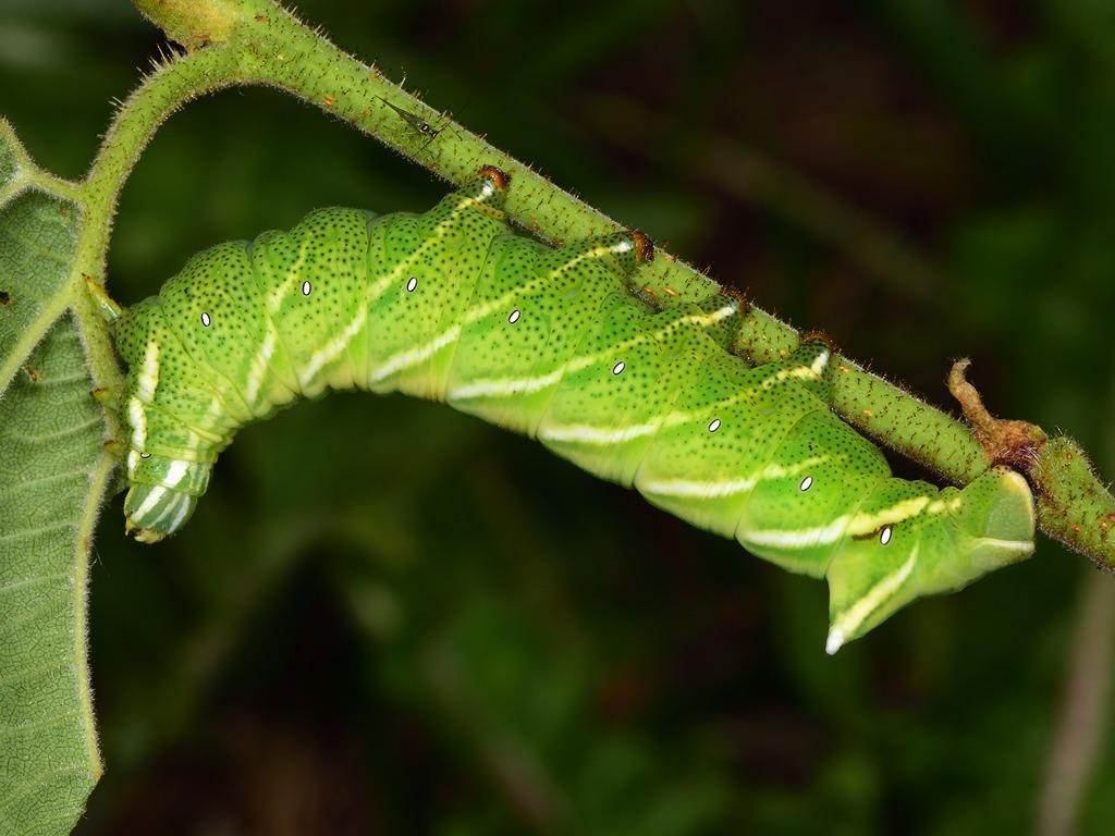 Larva L4 di Endromis versicolora