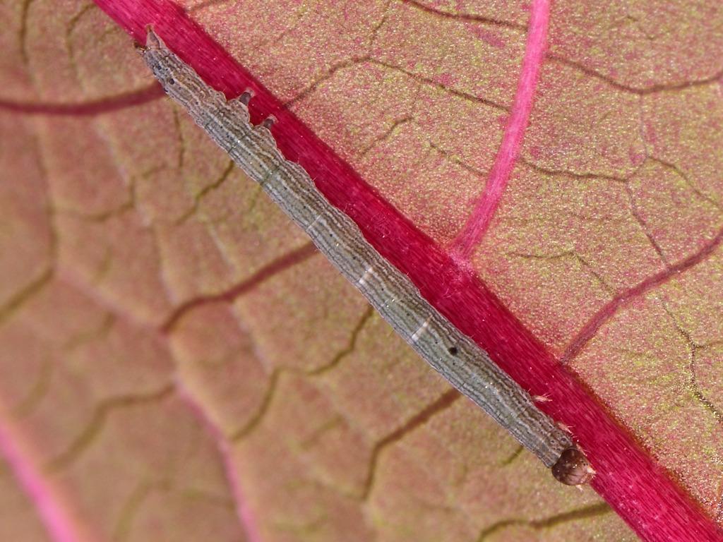 larva L2 di Dysgonia torrida