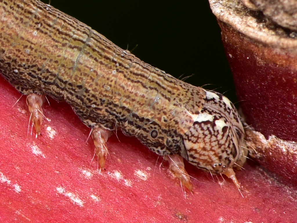 larva di Dysgonia torrida