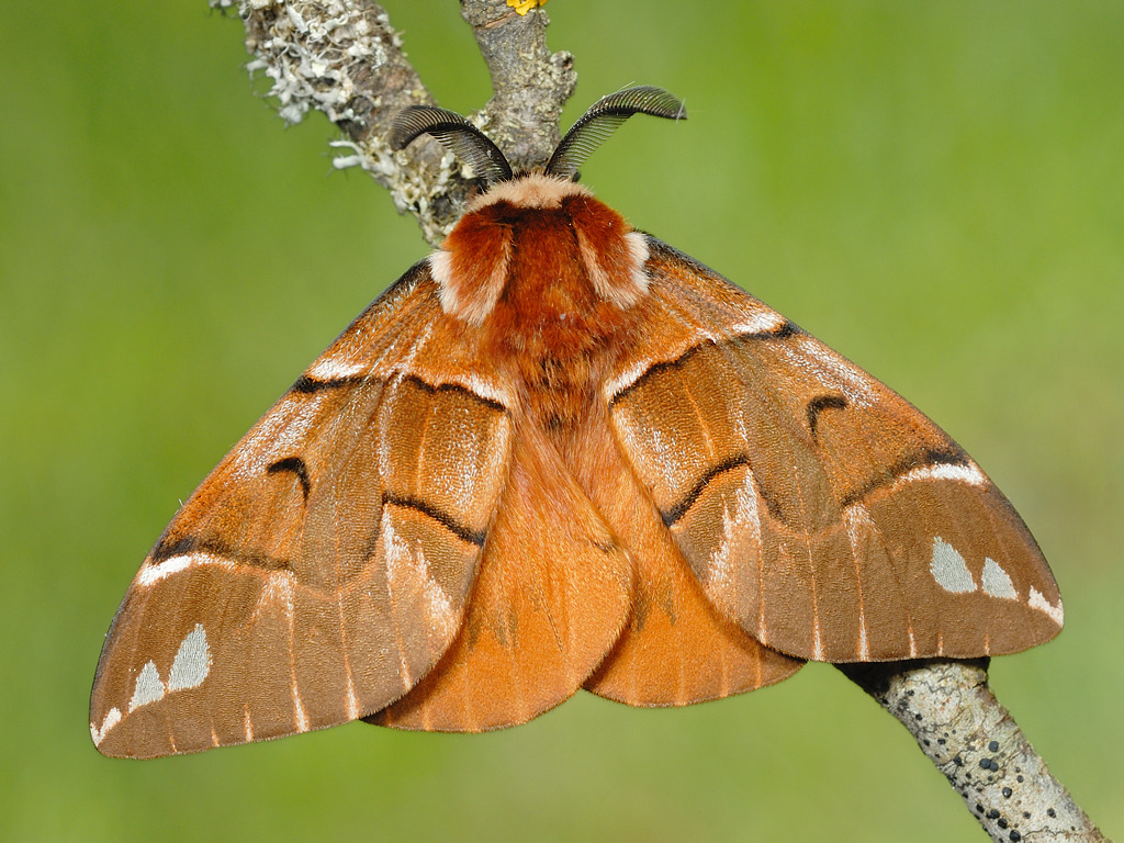 maschio adulto di Endromis versicolora