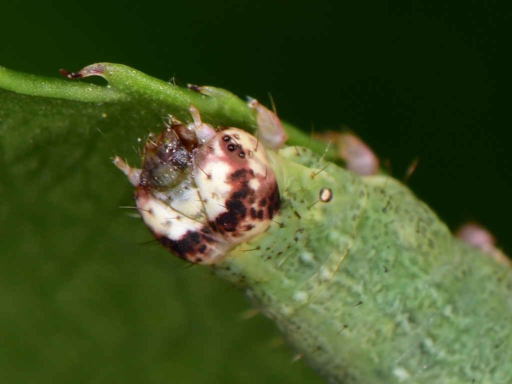 larva L4 di Ligdia adustata