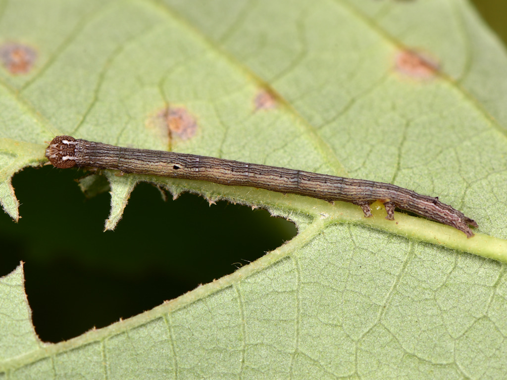 larva L2 di Dysgonia algira
