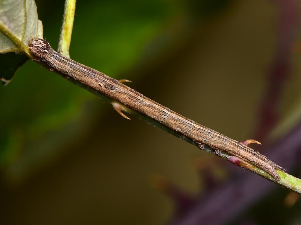 larva L3 di Dysgonia algira