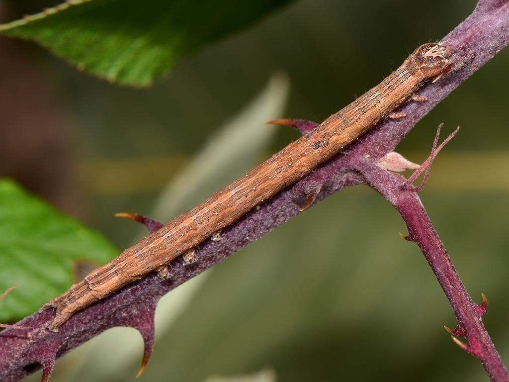 larva L4 di Dysgonia algira