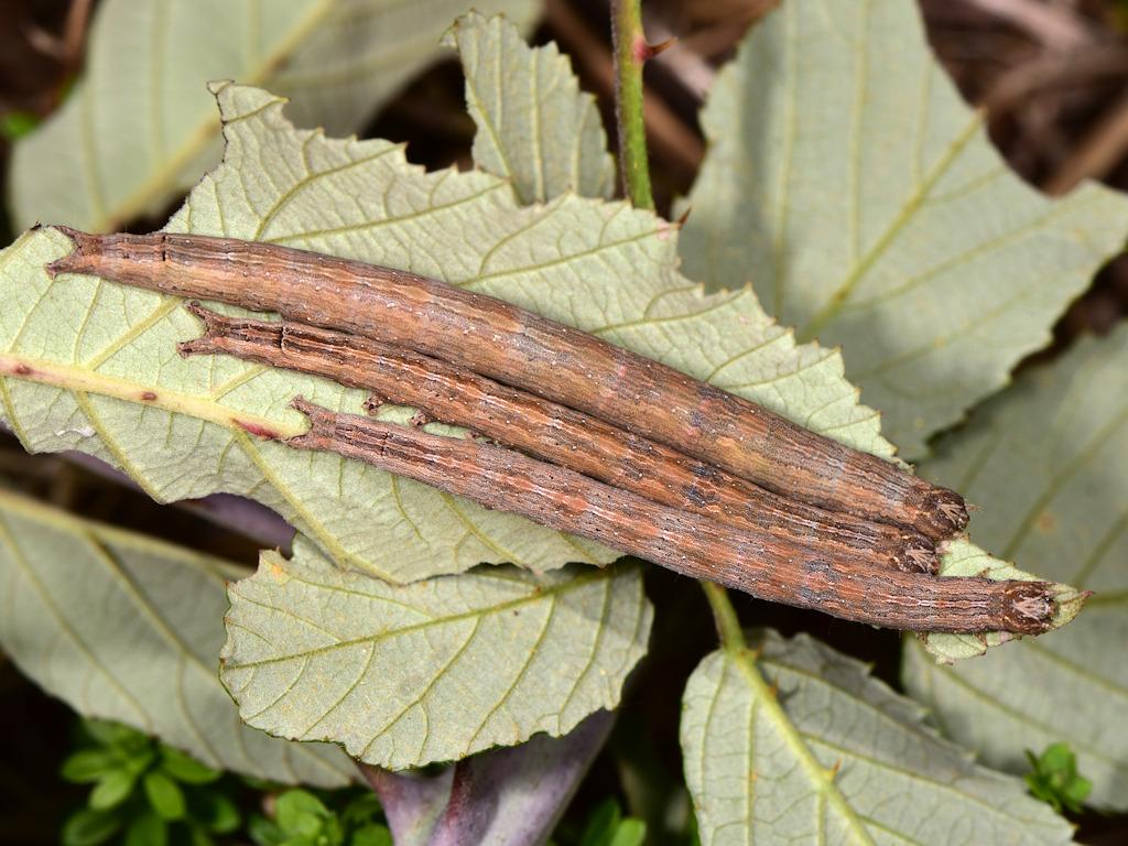 larve L4 di Dysgonia algira