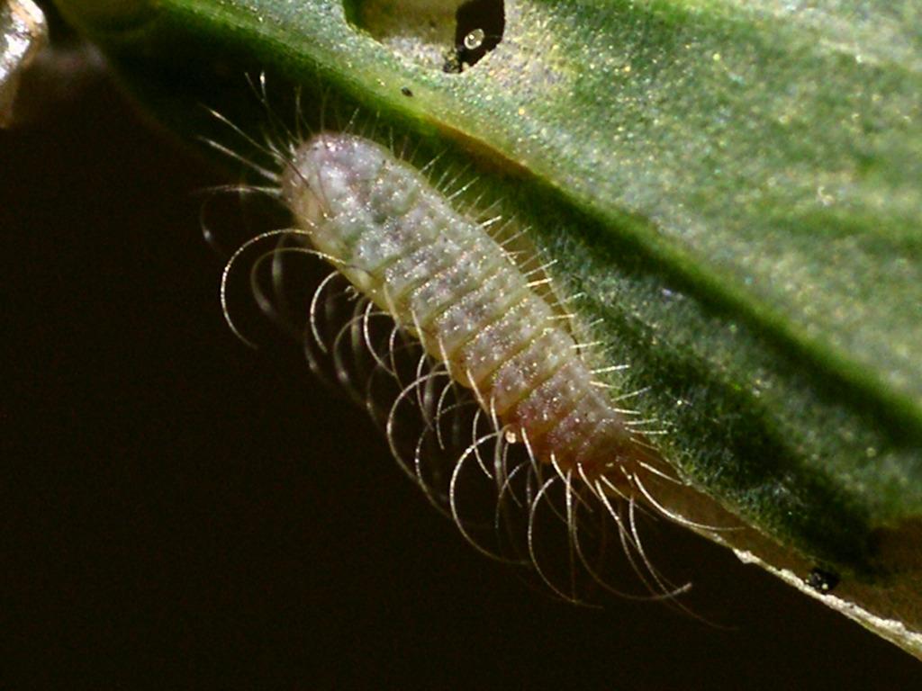 larva L1 di Lycaena thersamon
