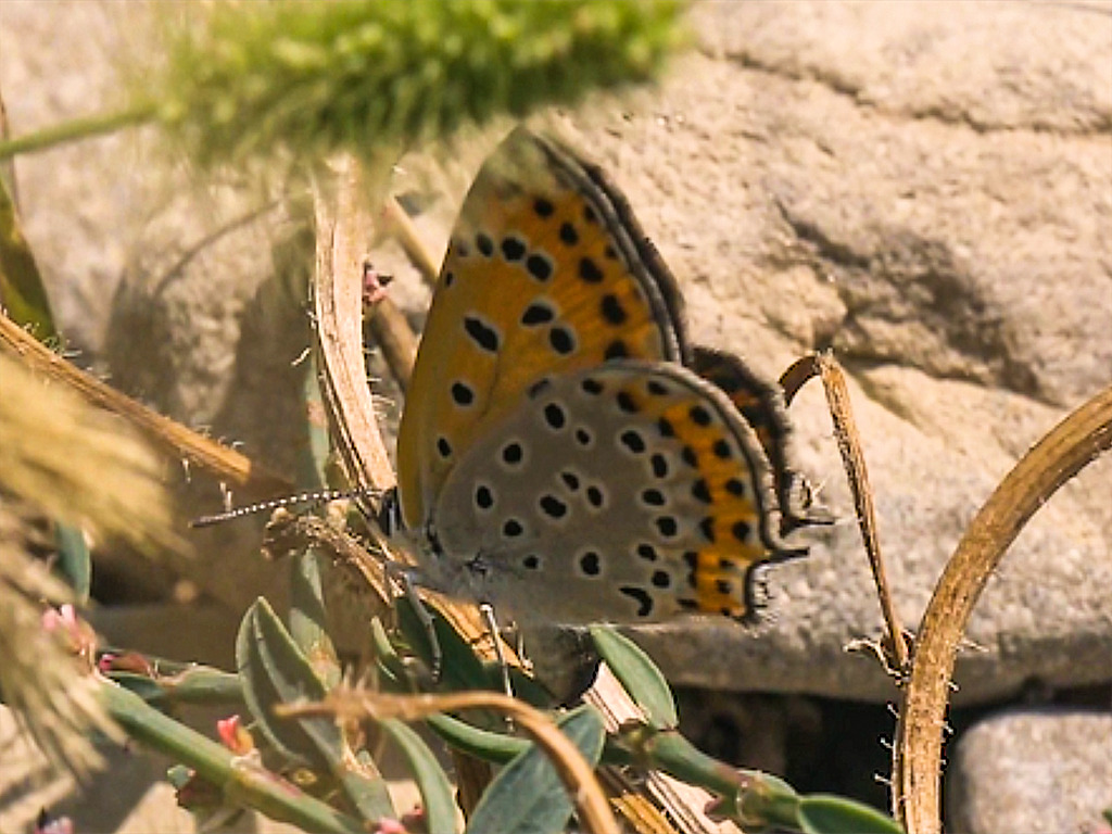 femmina adulta di Lycaena thersamon in deposizione