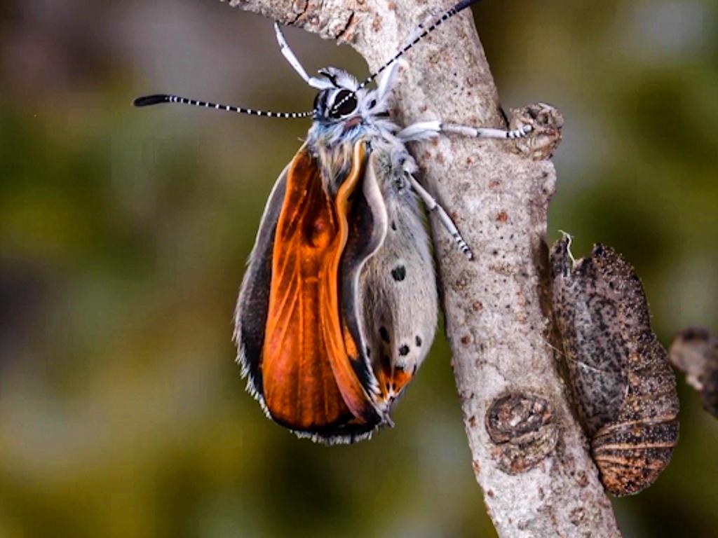 schiusa di un maschio adulto di Lycaena thersamon
