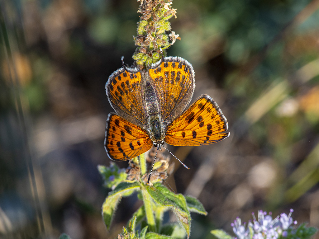 femmina adulta di Lycaena thersamon