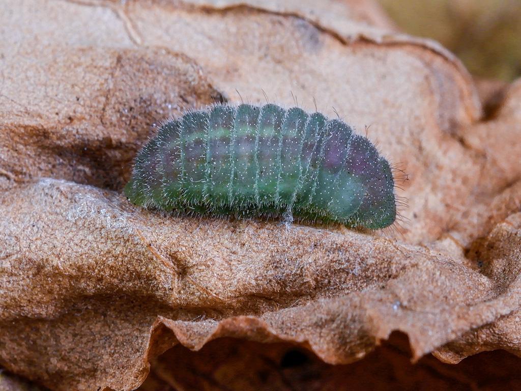 larva pre-pupa di Lycaena thersamon