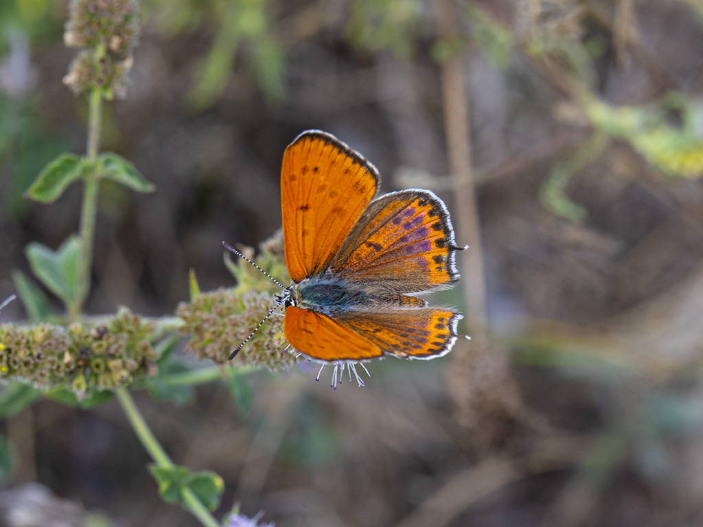 maschio adulto di Lycaena thersamon