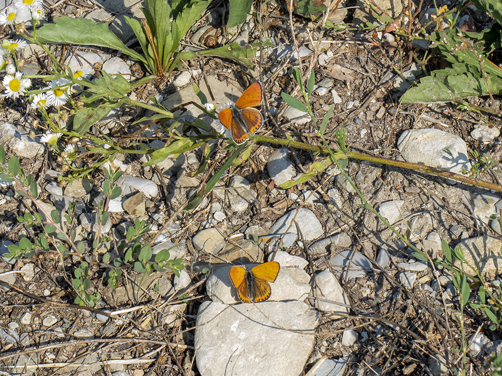 maschi adulti di Lycaena thersamon