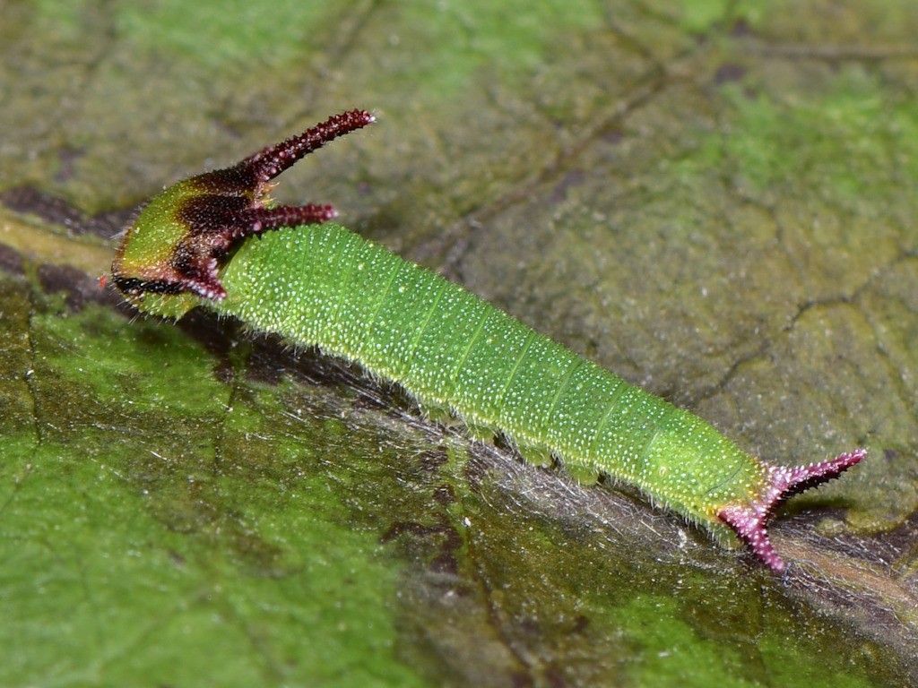 larva L2