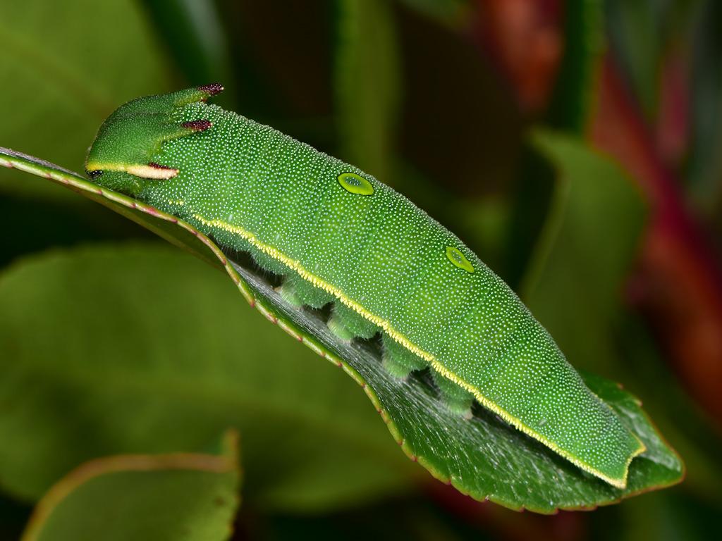 larva L5