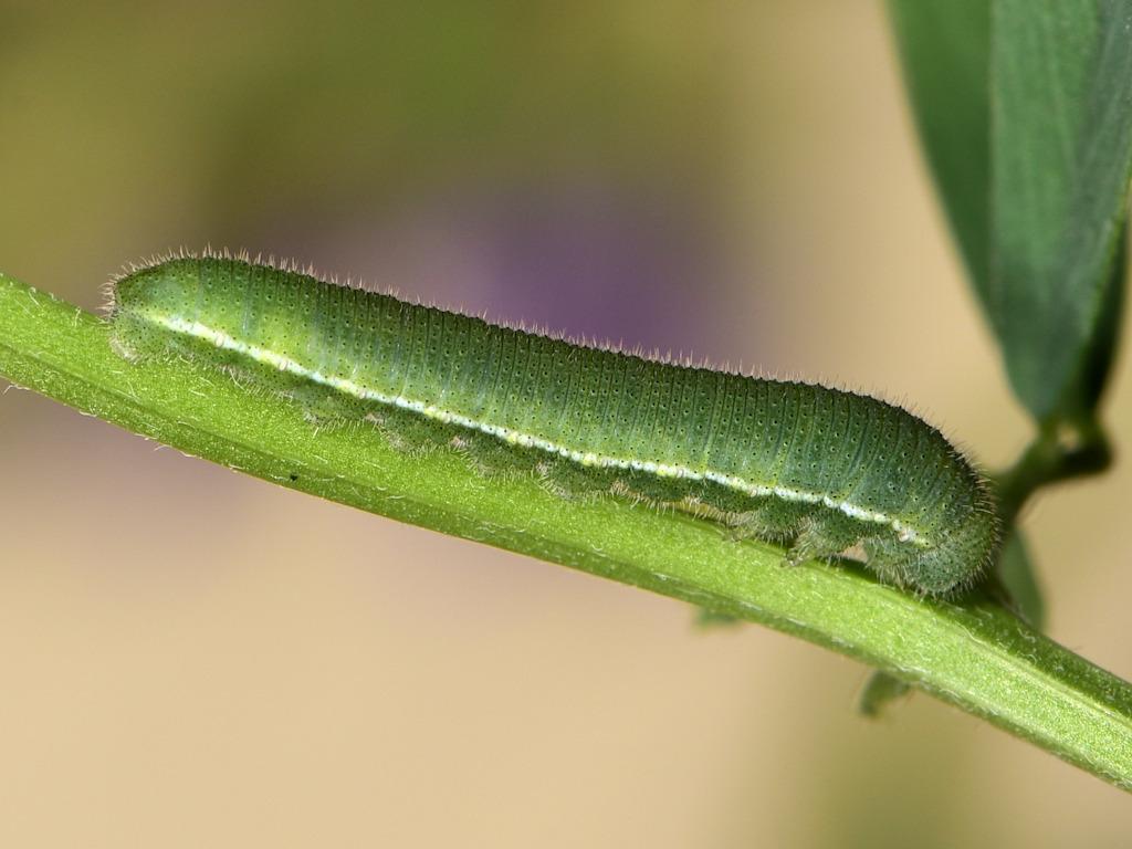 larva L3