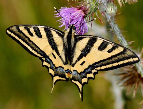 """Rubrica """"Metamorfosi"""": Papilio alexanor"""